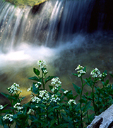A small waterfall with white flowers.