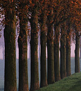 Nine tall trees in a row.