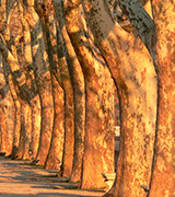Sunlit trees in a row.