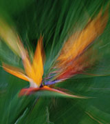 Blurred photo of a Bird of Paradise flower.
