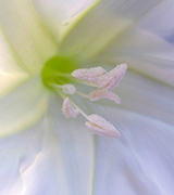 Close-up of a pale white flower.