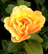 Photo of a yellow rose.