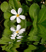 White plumeria reflected in the water.