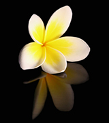 Yellow plumeria and reflection.