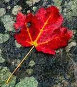 Photo of a red maple leaf with yellow veins against a dark mossy rock.
