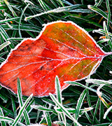 Frosted red leaf and grass.