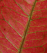 Close up of a red leaf with green veins.