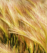Close up photo of golden wheat bent and shining.