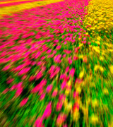 Blurred pink and yellow rows of tulips.