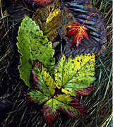Photo of multi-colored fall leaves nestled together.