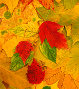 Photo of multi-colored fall leaves.