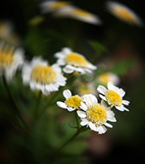Blurred photo of daisies.