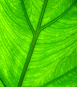 Close up photo of a bright green leaf.