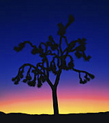 Photo of a Joshua Tree at sunrise.