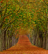 Leaf-strewn path between arched rows of trees in autumn.