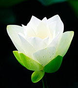 Luminous white lotus blossom.