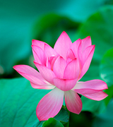Luminous pink lotus blossom.