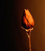 Dried rose against a dark background.