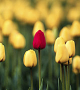 Photo of a single red tulip in a field of yellow tulips.