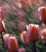 Photo of pink tulips in a spring shower.