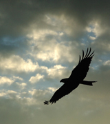 Eagle flying in a cloudy sky