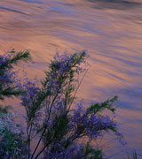 Photo of flowers at sunset next to a smooth-flowing river