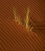 Grass growing on a sand dune.