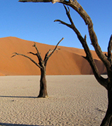 Bare trees in the Namib desert.