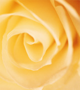Close-up of a pale yellow rose.