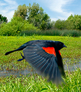 Red-winged blackbird in flight.